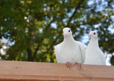 Wedding and Funeral Dove Release